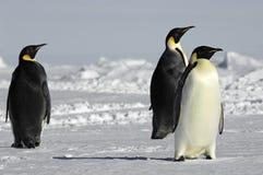Drie nieuwsgierige pinguïnen Stock Foto's