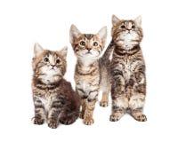 Drie Nieuwsgierige Tabby Kittens Together op Wit stock afbeeldingen