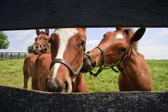 Drie Nieuwsgierige Veulens Stock Fotografie