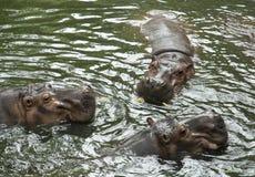 Drie nijlpaarden in de rivier Royalty-vrije Stock Foto