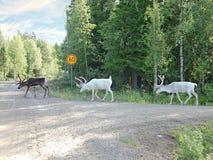 Drie noordelijke herten zijn op een bosweg Stock Afbeeldingen