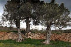 Drie olijfbomen Stock Afbeeldingen