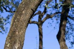 Drie olijvenbomen stock afbeeldingen