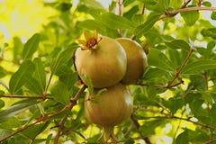 Drie onrijpe groene granaatappels op boom Stock Afbeeldingen
