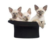 Drie Oosterse Shorthair katjes, 9 weken oud Royalty-vrije Stock Foto's