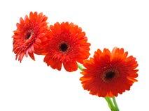Drie oranje gerbers Stock Afbeeldingen