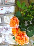 Drie Oranje Rose Blossoms Near Brick Wall royalty-vrije stock foto's