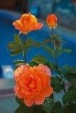 Drie oranje rozen Royalty-vrije Stock Afbeelding