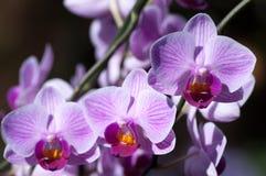 Drie orchideeën Royalty-vrije Stock Afbeeldingen