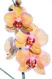 Drie orchideeën bloeiden Stock Fotografie