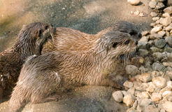Drie otters Stock Foto