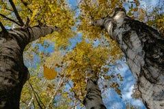 Drie oude witte en zwarte berkbomen met takken met gouden en gele bladeren op een blauwe hemelachtergrond stock afbeeldingen