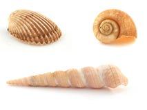Drie Overzeese Shells Stock Afbeeldingen