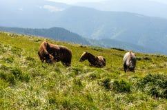 Drie paarden in de reserve Paarden die in de bergen lopen royalty-vrije stock afbeeldingen