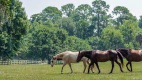 Drie paarden die aan de linkerzijde in een weiland lopen Royalty-vrije Stock Afbeeldingen
