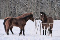 Drie paarden die de winterlagen in sneeuw behandelde paddock dragen royalty-vrije stock afbeeldingen