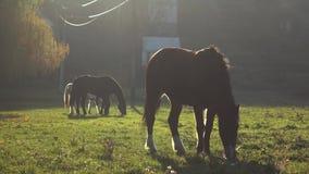 Drie paarden die gras op een gazon kauwen Langzame Motie stock footage