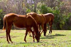 Drie paarden het eten Stock Afbeelding