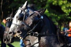 Drie paarden het galopperen Stock Afbeeldingen
