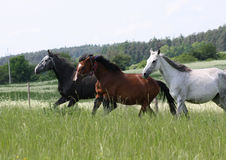 Drie paarden het lopen Stock Fotografie