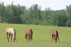 Drie paarden het weiden Royalty-vrije Stock Afbeeldingen