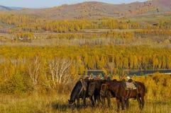 Drie paarden op de de herfstheuvel Stock Afbeelding