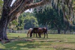 Drie paarden in weiland met levende eik royalty-vrije stock fotografie