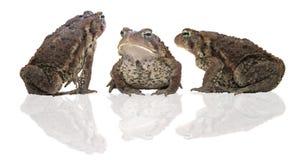 Drie padden Royalty-vrije Stock Afbeelding