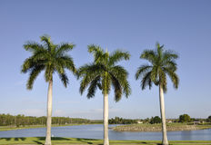Drie palmen Stock Foto's