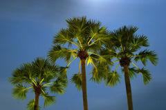 Drie palmen Royalty-vrije Stock Afbeelding