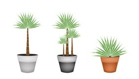 Drie Palmen in Ceramische Bloempot Stock Foto