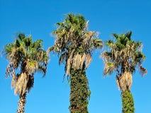 Drie palmen tegen de blauwe hemel Stock Foto's