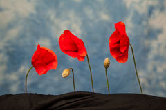 Drie papaverbloemen en knoppen Royalty-vrije Stock Foto's