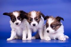 Drie Papillon-Puppy op een blauwe achtergrond Royalty-vrije Stock Foto