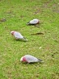 Drie Parkieten op Gras bij Wilsons-Voorgebergte Nationaal Park stock foto