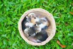 Drie pasgeboren katjes die in rieten mand op groen gras zitten royalty-vrije stock afbeelding
