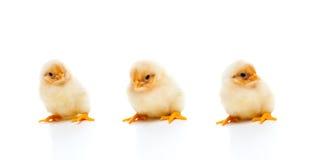 Drie pasgeboren kuikens, die op witte achtergrond worden geïsoleerde Stock Afbeelding