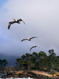 Drie pelikanen Royalty-vrije Stock Fotografie