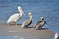 Drie Pelikanen Stock Afbeeldingen