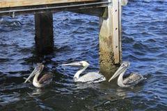 Drie Pelikanen in het Water Stock Afbeeldingen