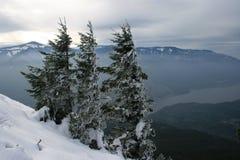 Drie pijnbomen in de sneeuw Royalty-vrije Stock Afbeeldingen