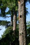 Drie pijnboom-bomen royalty-vrije stock foto