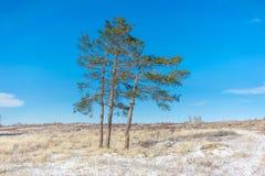 Drie pijnboom-bomen op het gebied Royalty-vrije Stock Foto's