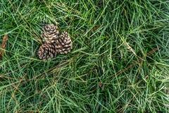 Drie pijnboomballen op het groene gras Royalty-vrije Stock Afbeeldingen