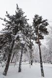 Drie pijnboombomen in de winter in parksneeuw Royalty-vrije Stock Foto's