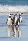 Drie Pinguïnen Royalty-vrije Stock Afbeeldingen