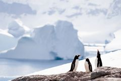 Drie pinguïnen Royalty-vrije Stock Foto