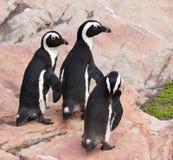 Drie pinguïnen die over rotsen lopen Stock Afbeelding