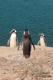 Drie pinguins Stock Foto