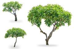 Drie Plumeria boom Royalty-vrije Stock Fotografie